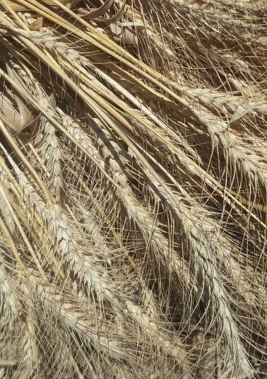 حبوب بقوليات تنمية زراعة مستدامة